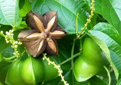 Kỹ thuật trồng và chăm sóc cây Sachi