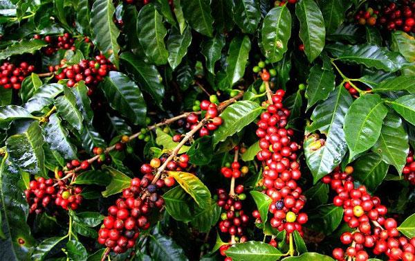Gia Lai xuất khẩu lô cà phê đầu tiên sang châu Âu